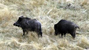 Лов на дива свиня в Западни Родопи