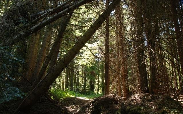 Наклонени дървета